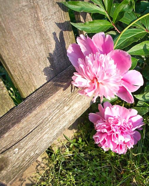 Darmowe zdjęcie z galerii z kwiat, kwiaty, natura, piwonia