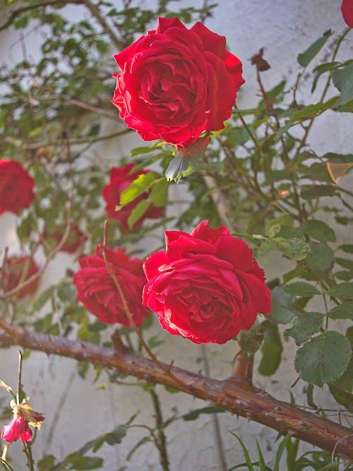 Darmowe zdjęcie z galerii z czerwony, kwiaty, natura, roślina