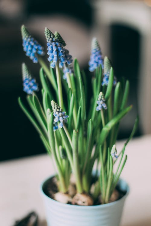 Close Up Photo of Blue Flowers in Vase