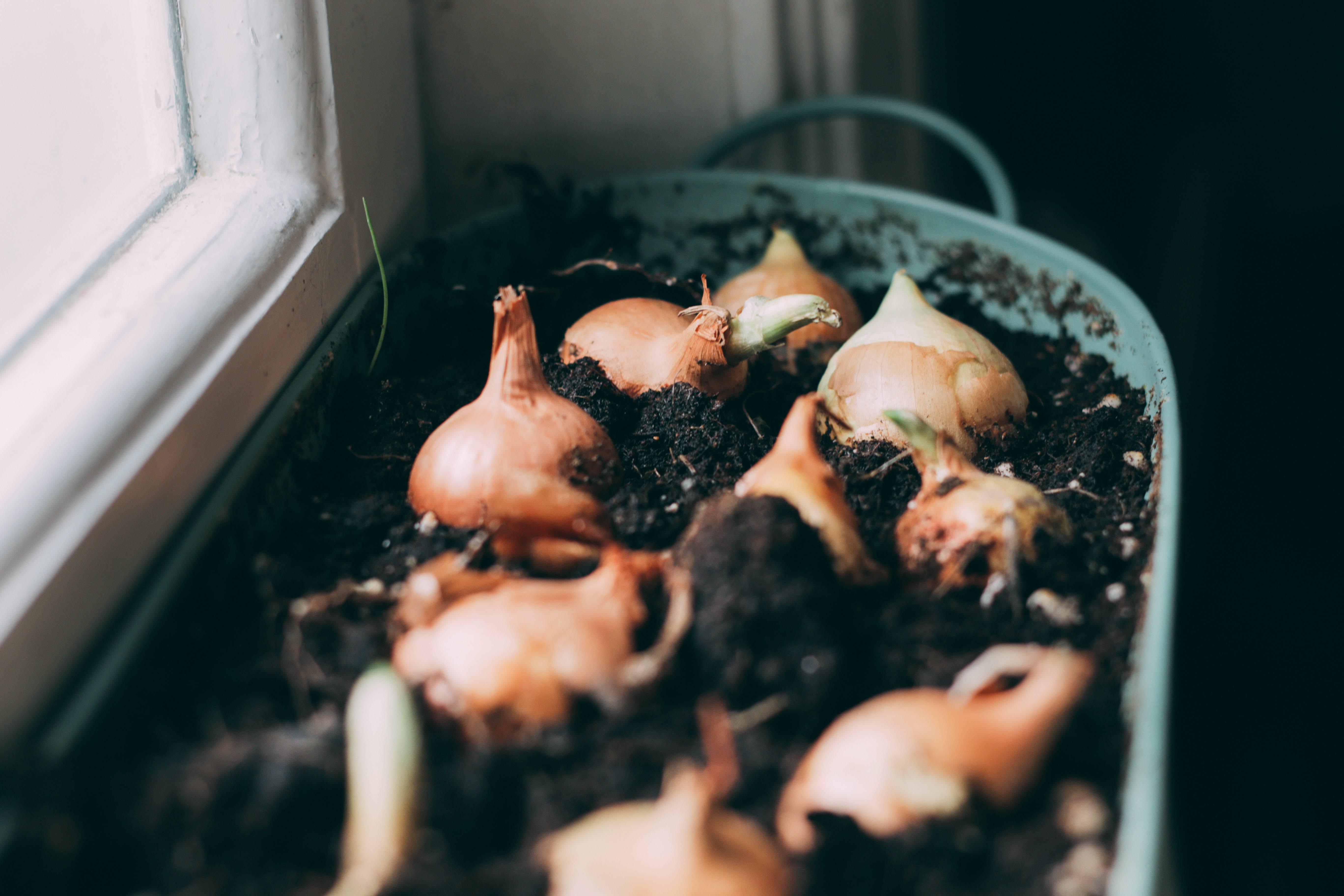 White Onions on Soil