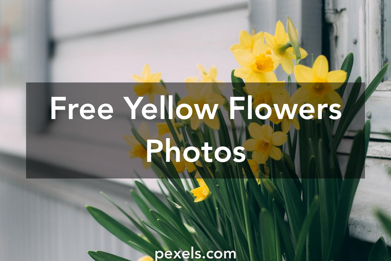 1000 beautiful yellow flowers photos pexels free stock photos mightylinksfo