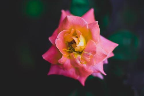 Darmowe zdjęcie z galerii z flora, kolor, kwiat, kwiat róży