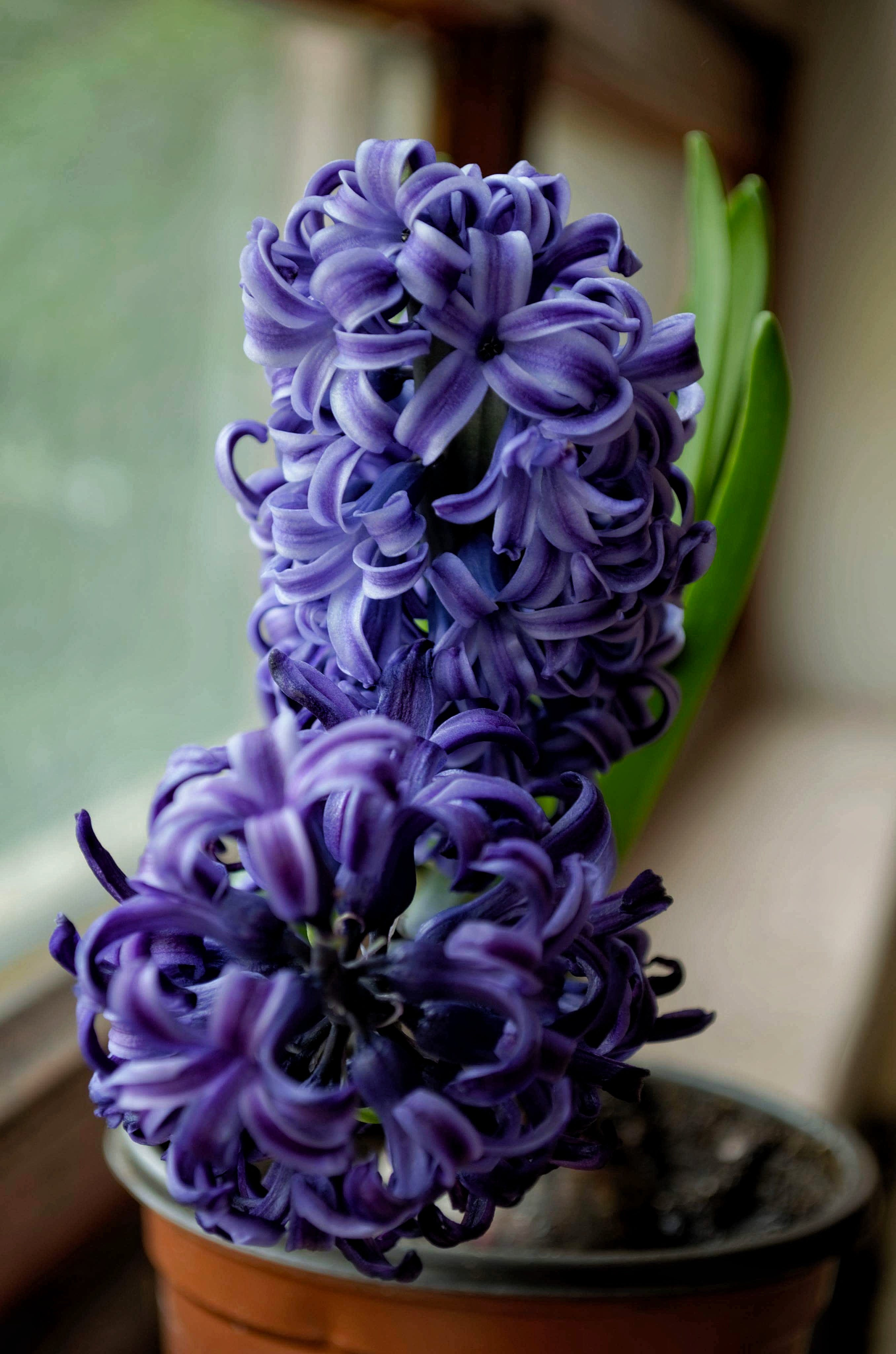 Selective Focus Photography of Purple Hyacinth Flower