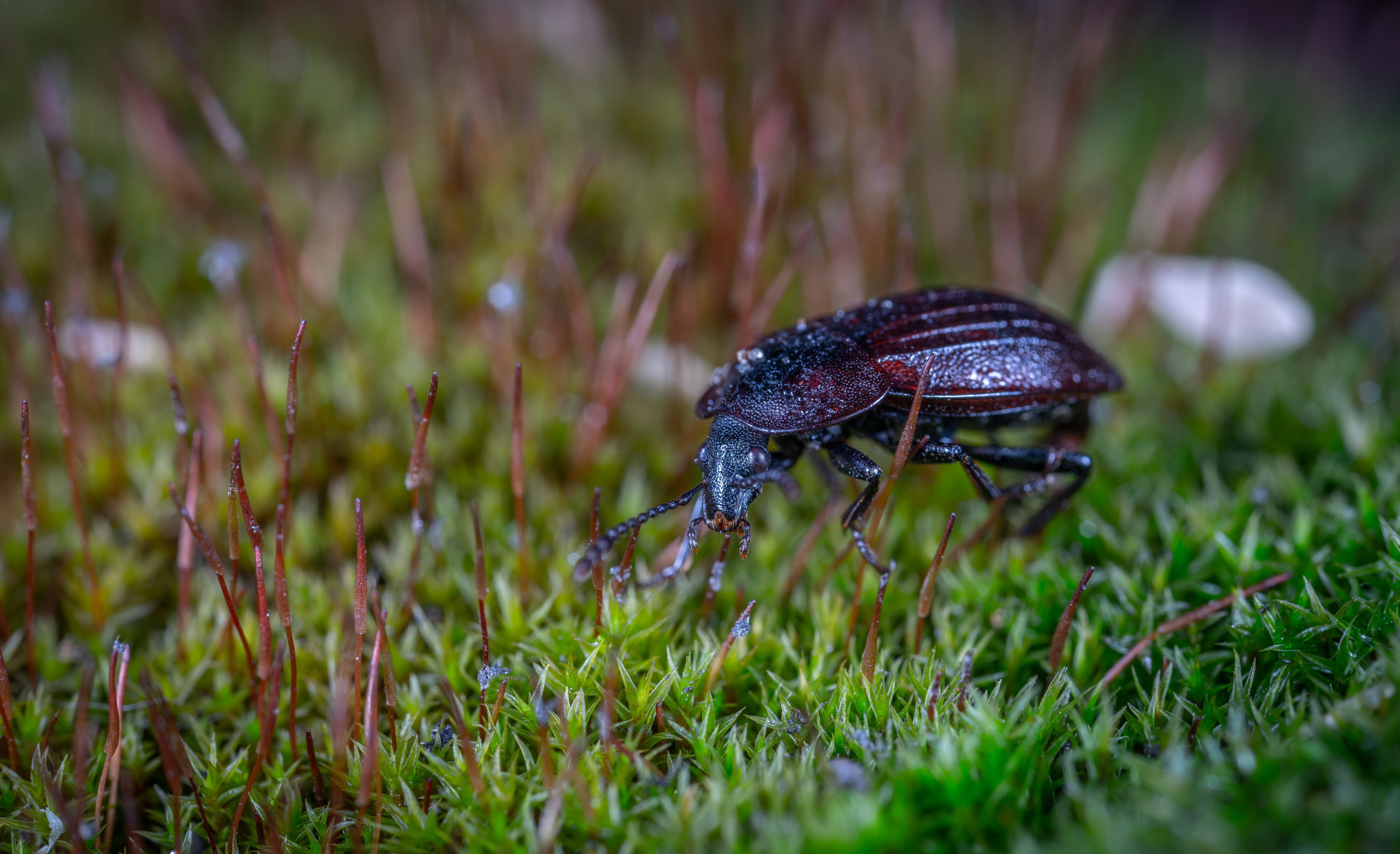 Black Ground Beetle on Green Grass in Closeup Photography
