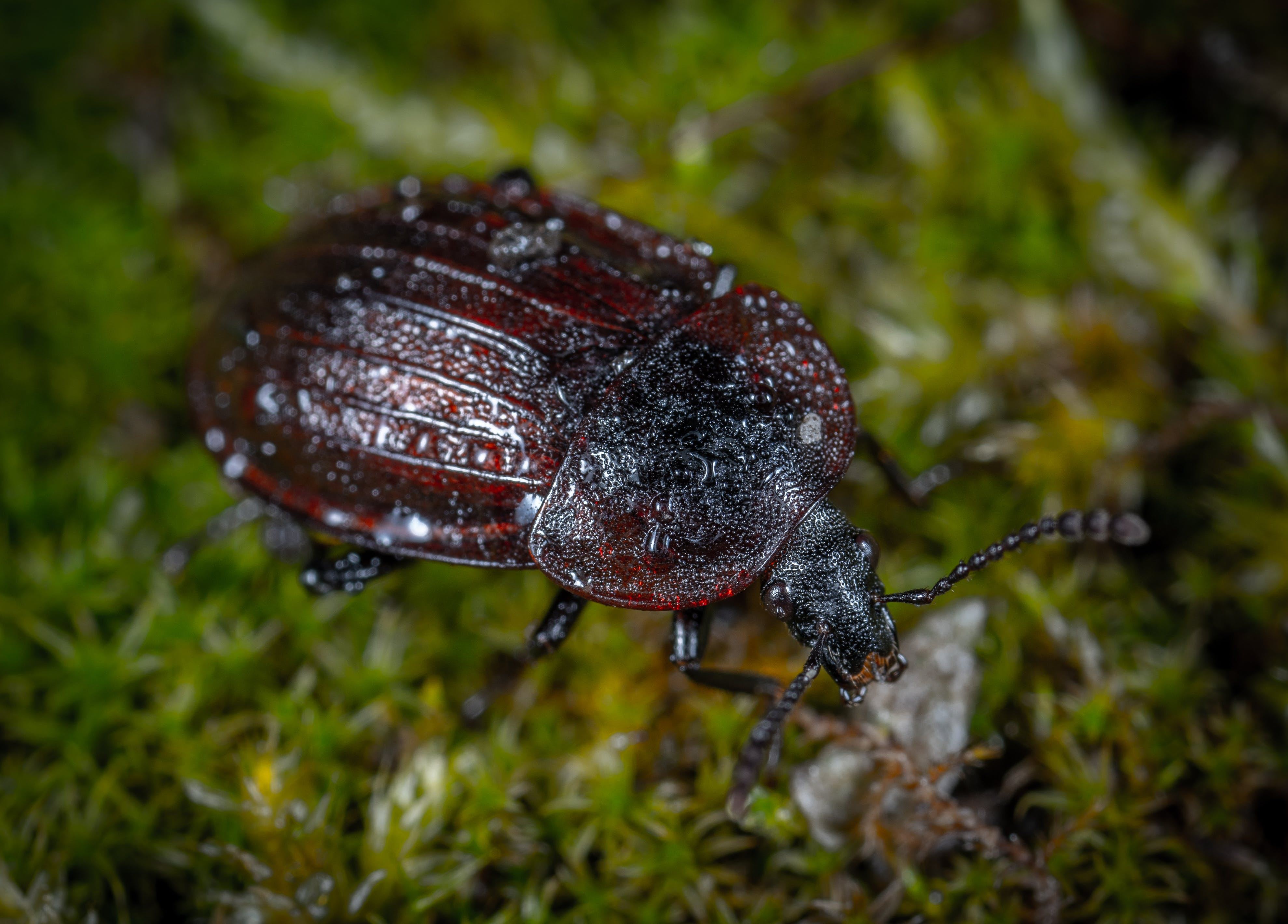 Closeup Photo of Brown and Black Beetle on Green Grass