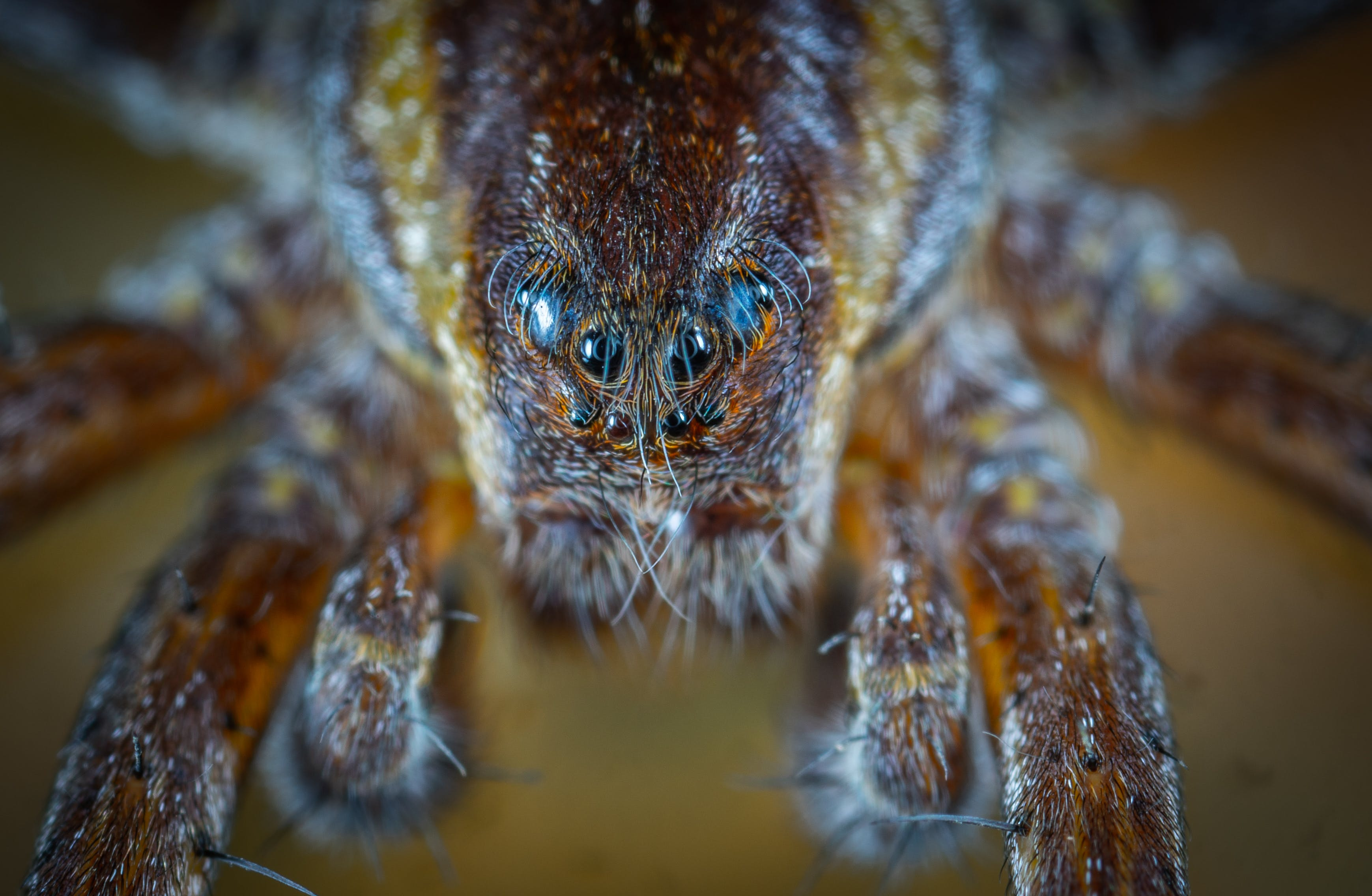 Micro Photo of Brown Jumping Spider