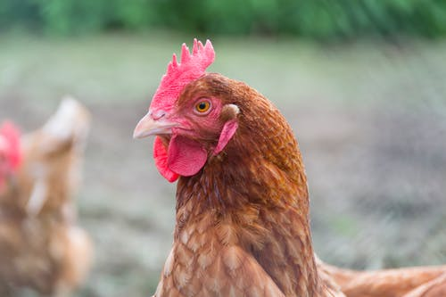 Close Up Photo of Brown Hen