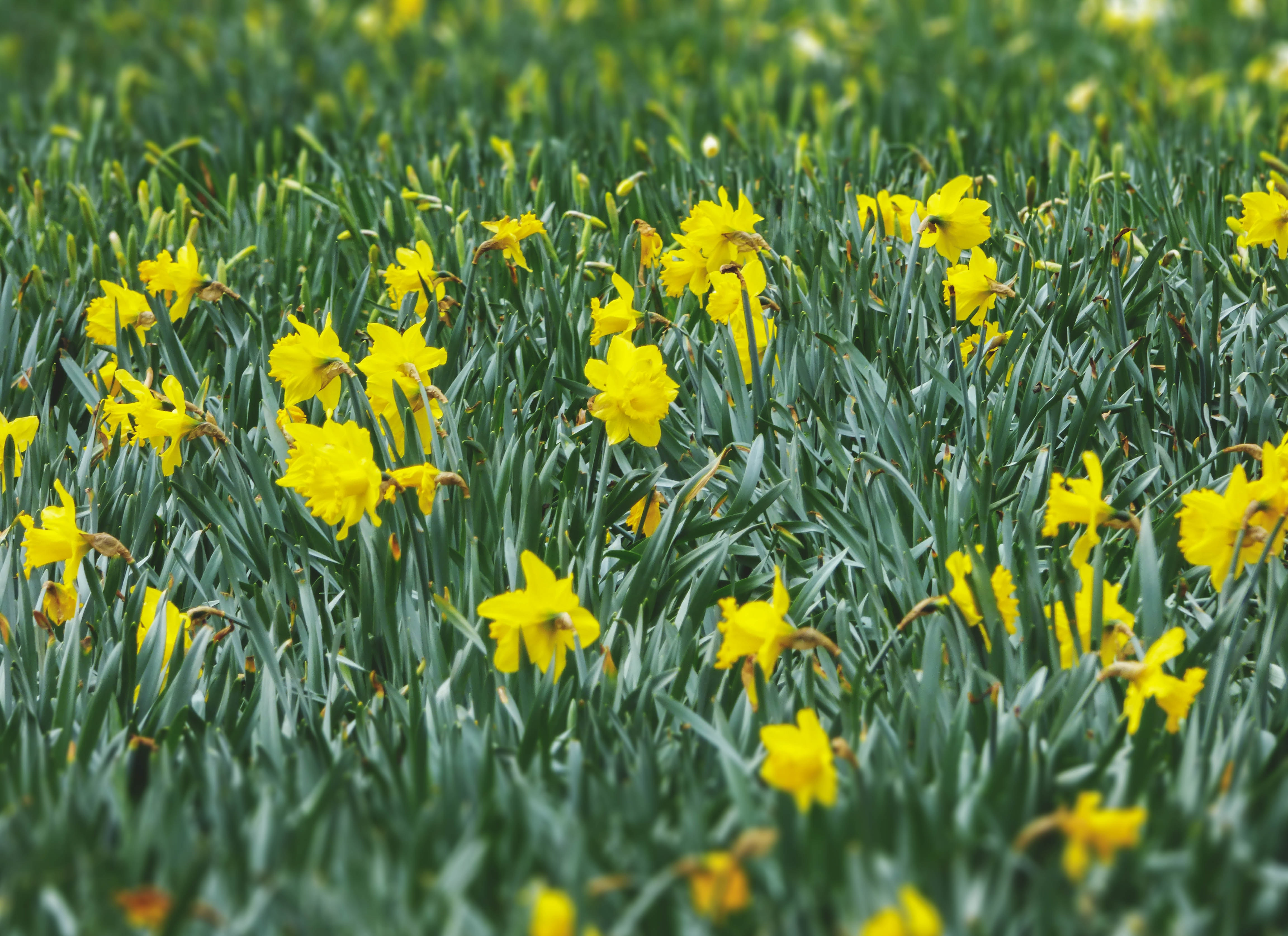 Yellow Flowers With Green Leaves Free Stock Photo