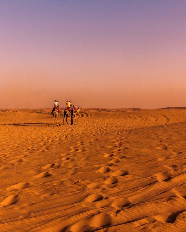 Two Brown Camel on Desert