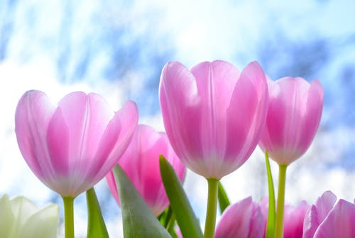 Pink Tulip Flowers Under White Clouds Blue Skies at Daytime