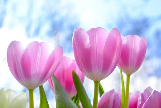 250 great tulips photos pexels free stock photos pink tulip flowers under white clouds blue skies at daytime mightylinksfo