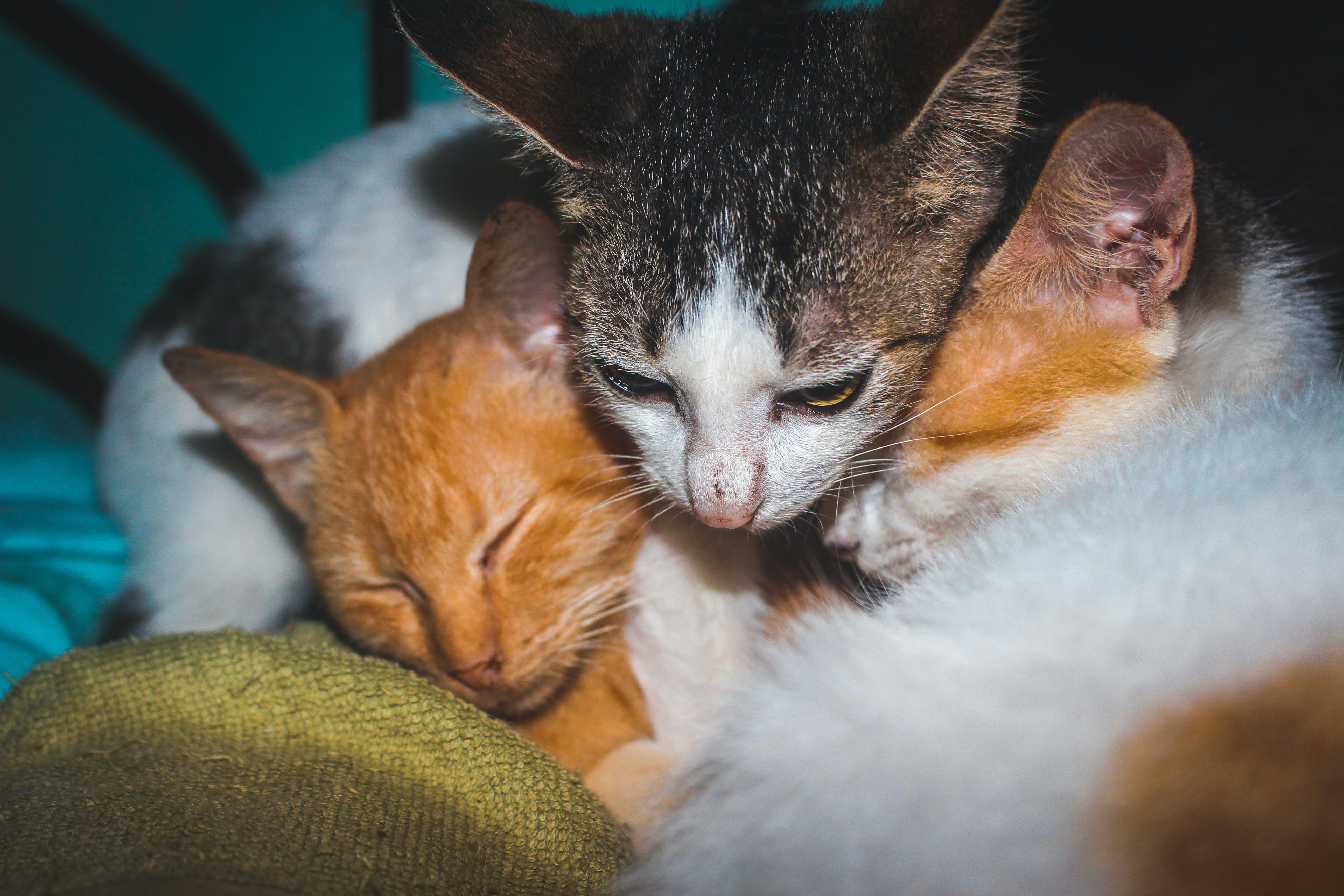 Free stock photo of cat, cat face, cat sleeping, cat's eyes