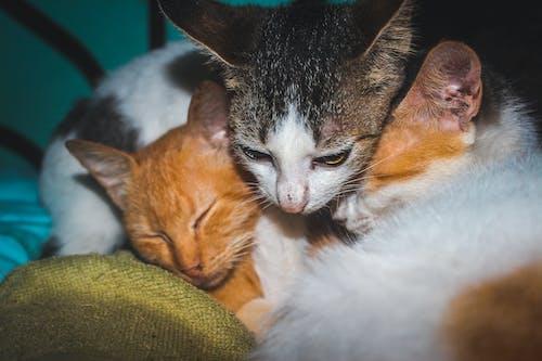 Fotobanka sbezplatnými fotkami na tému biela mačka, mačacia tvár, mačacie oči, mačička