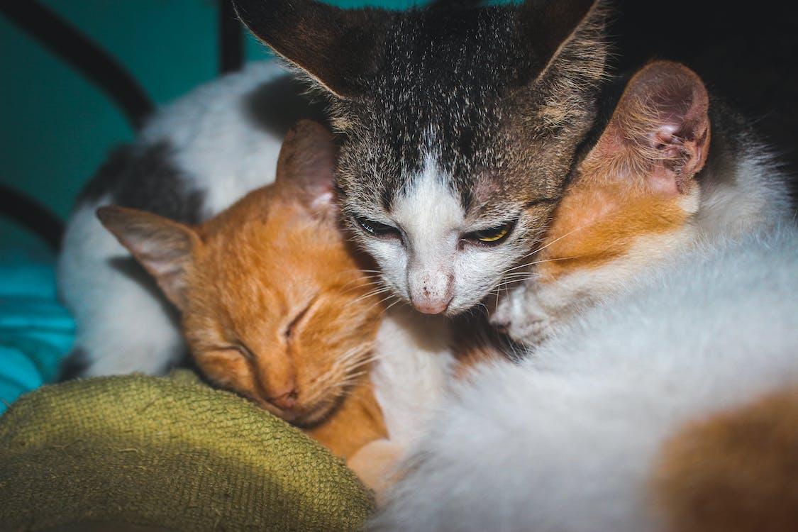 biela mačka, mačacia tvár, mačacie oči