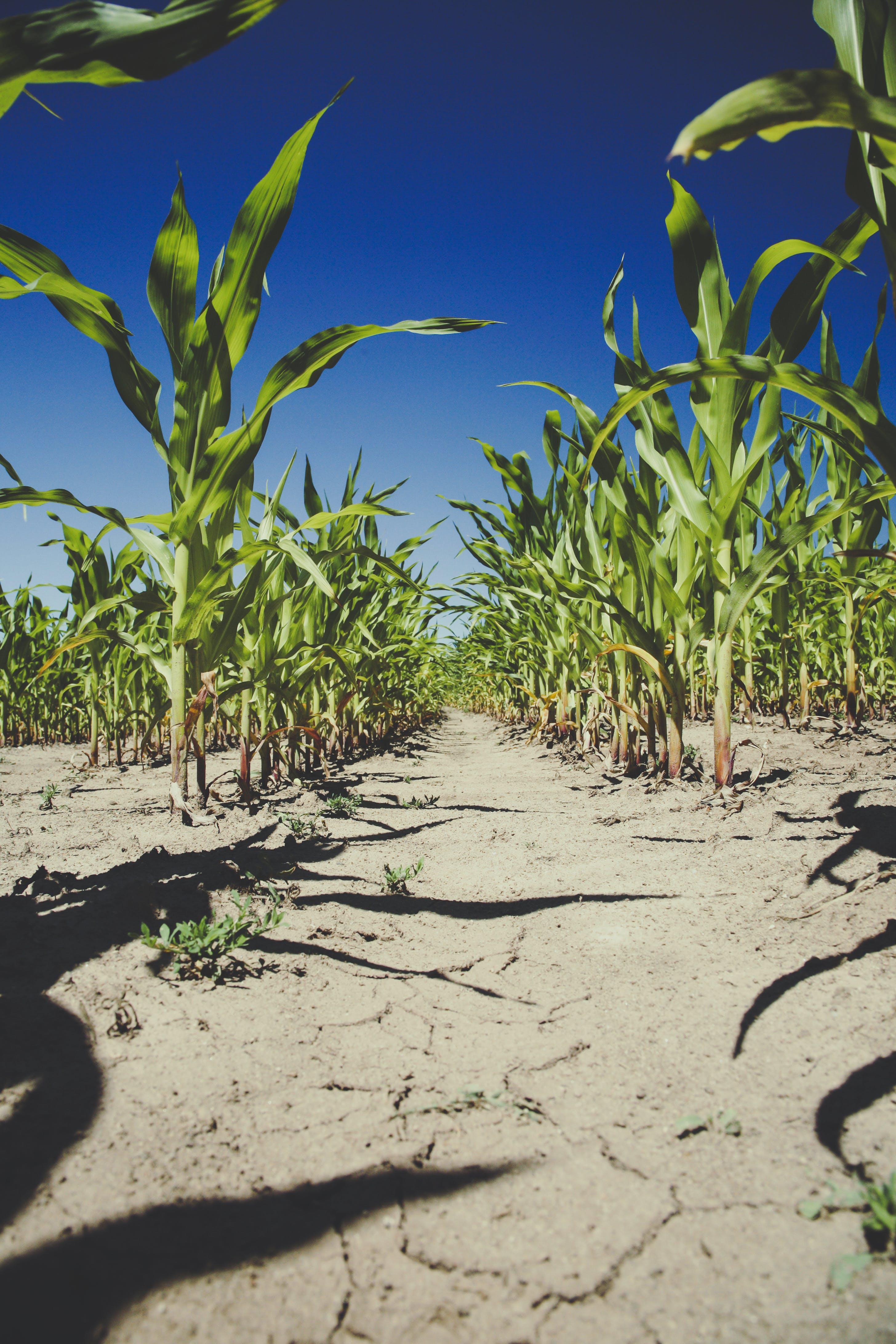 Corn Plantation Under Blue Sky during Daytime