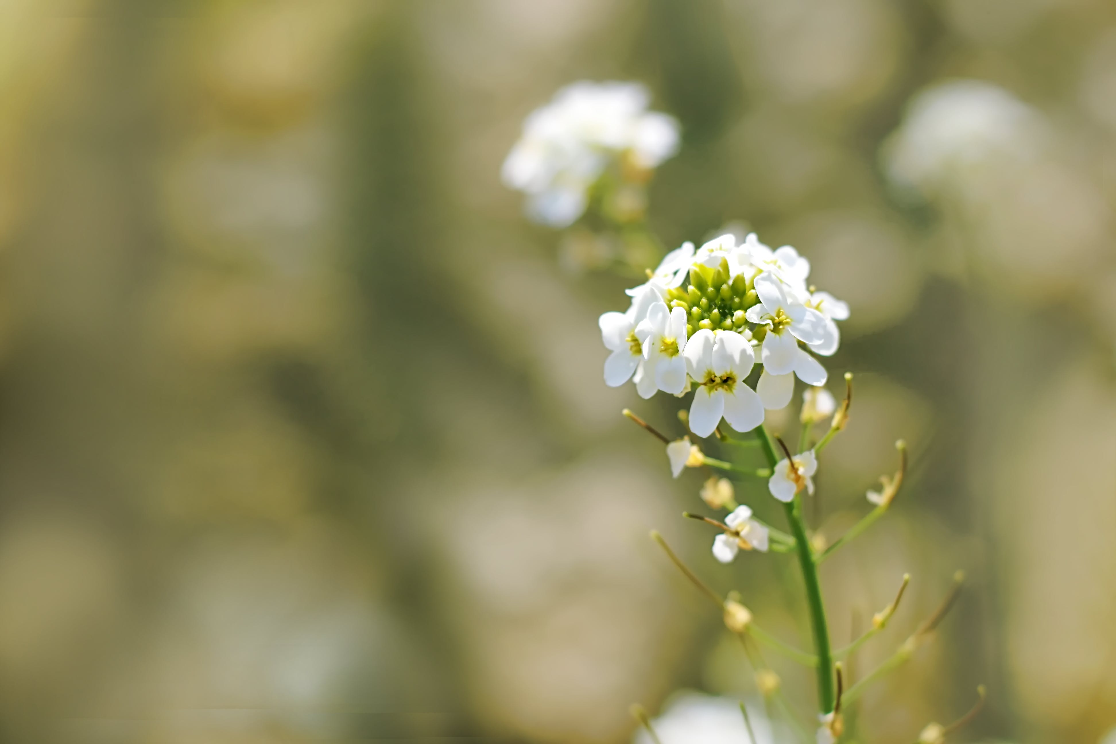 Selective Focus of White Cluster Flowers