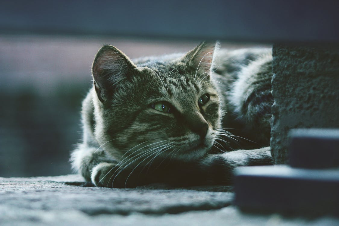 Photo of Silver Tabby Cat Lying on Gray Pavement