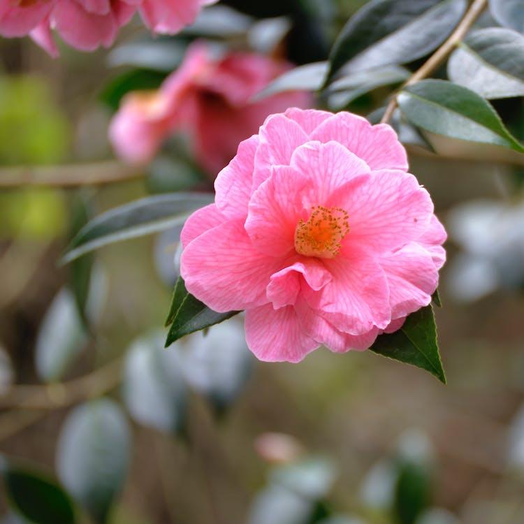 arbuste, cognassier du japon, fleur