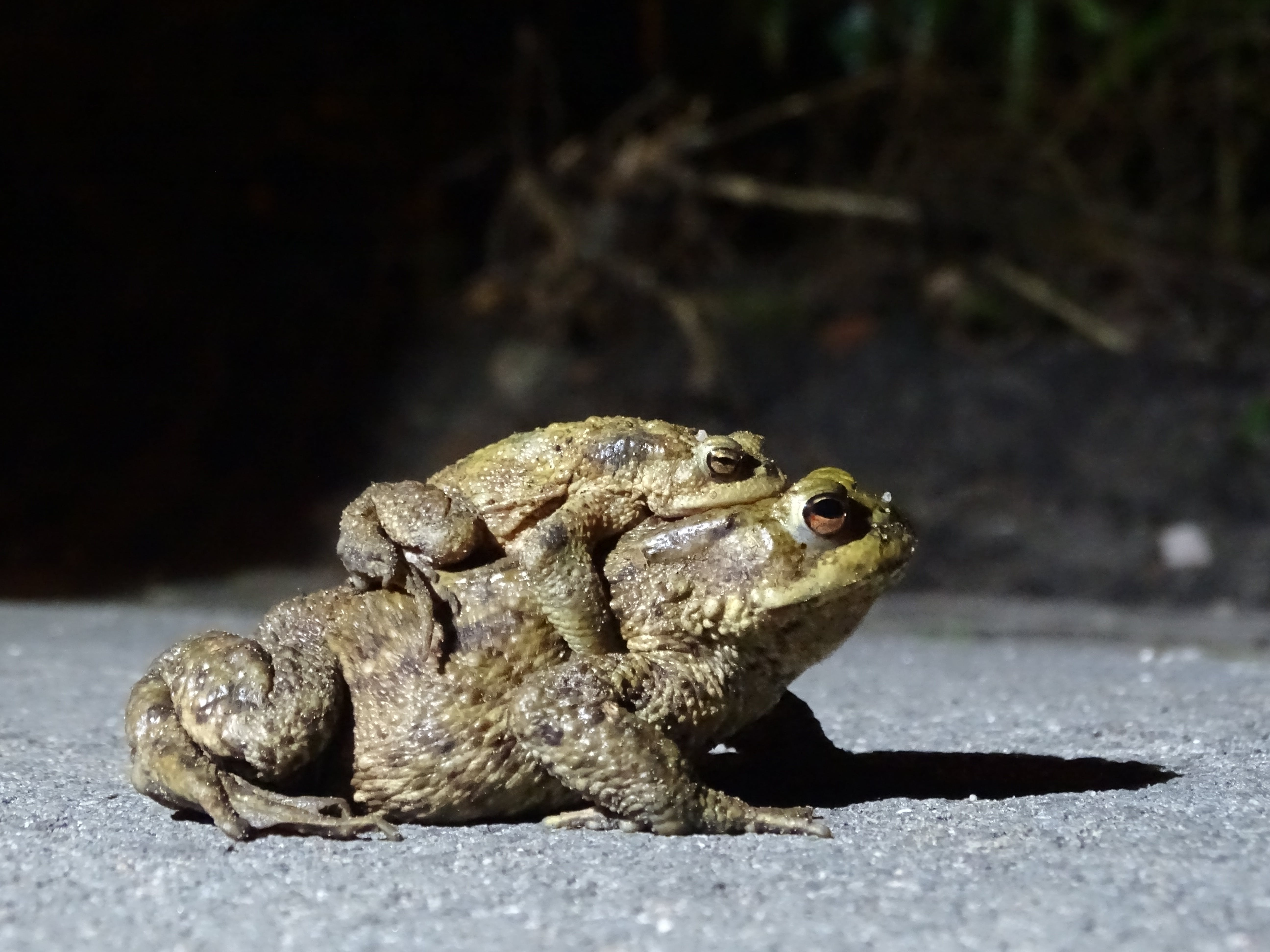 Free stock photo of frogs