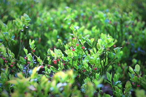 Foto profissional grátis de amoras, arbusto, área, árvore