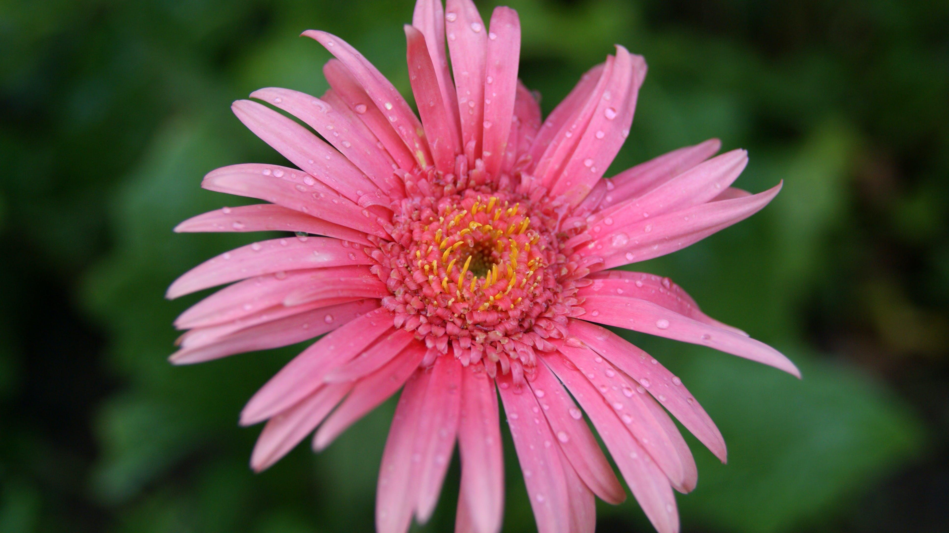 Fotobanka sbezplatnými fotkami na tému detailný záber, flóra, HD tapeta, kvet