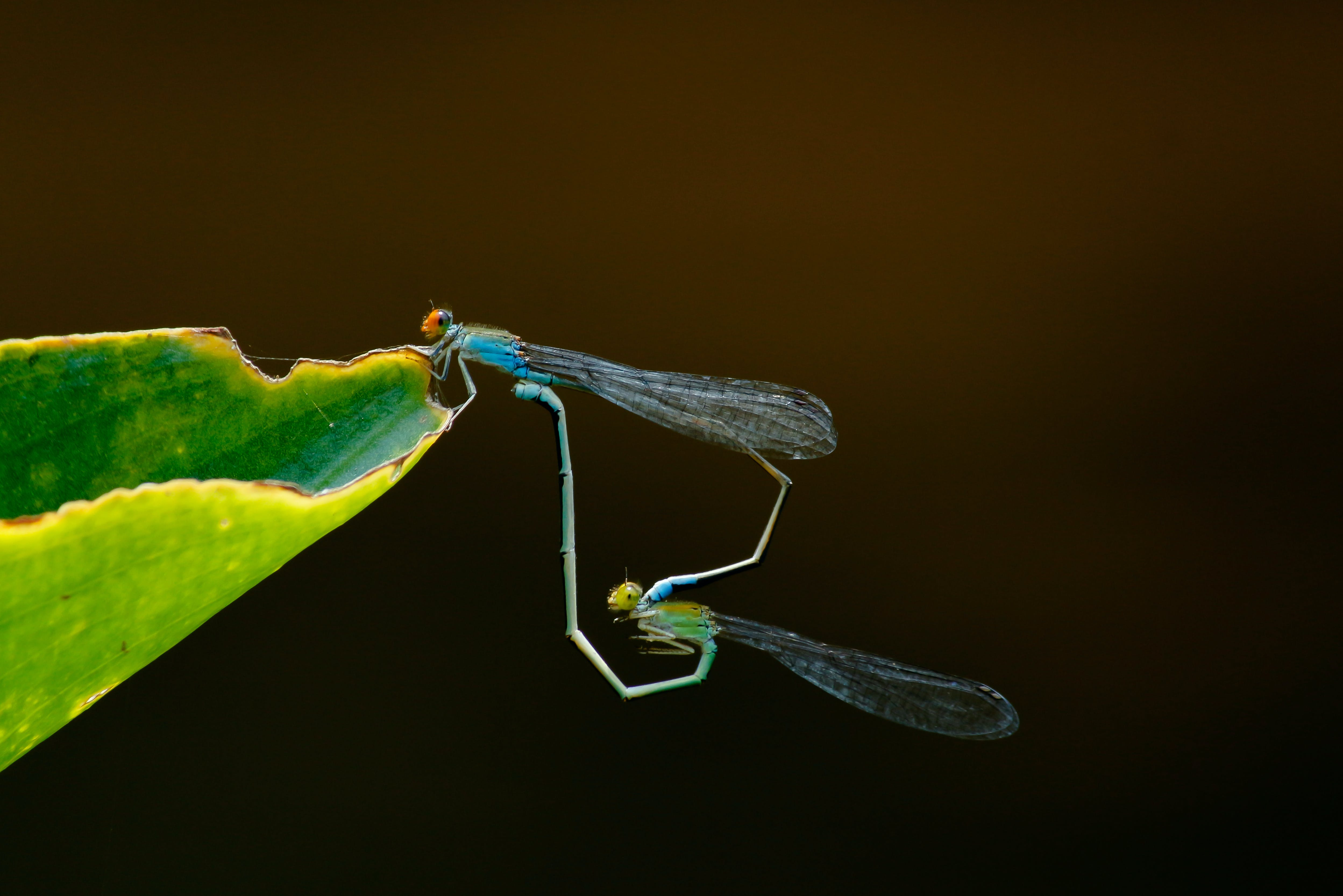 Green and Blue Dragonflies on Green Leaf