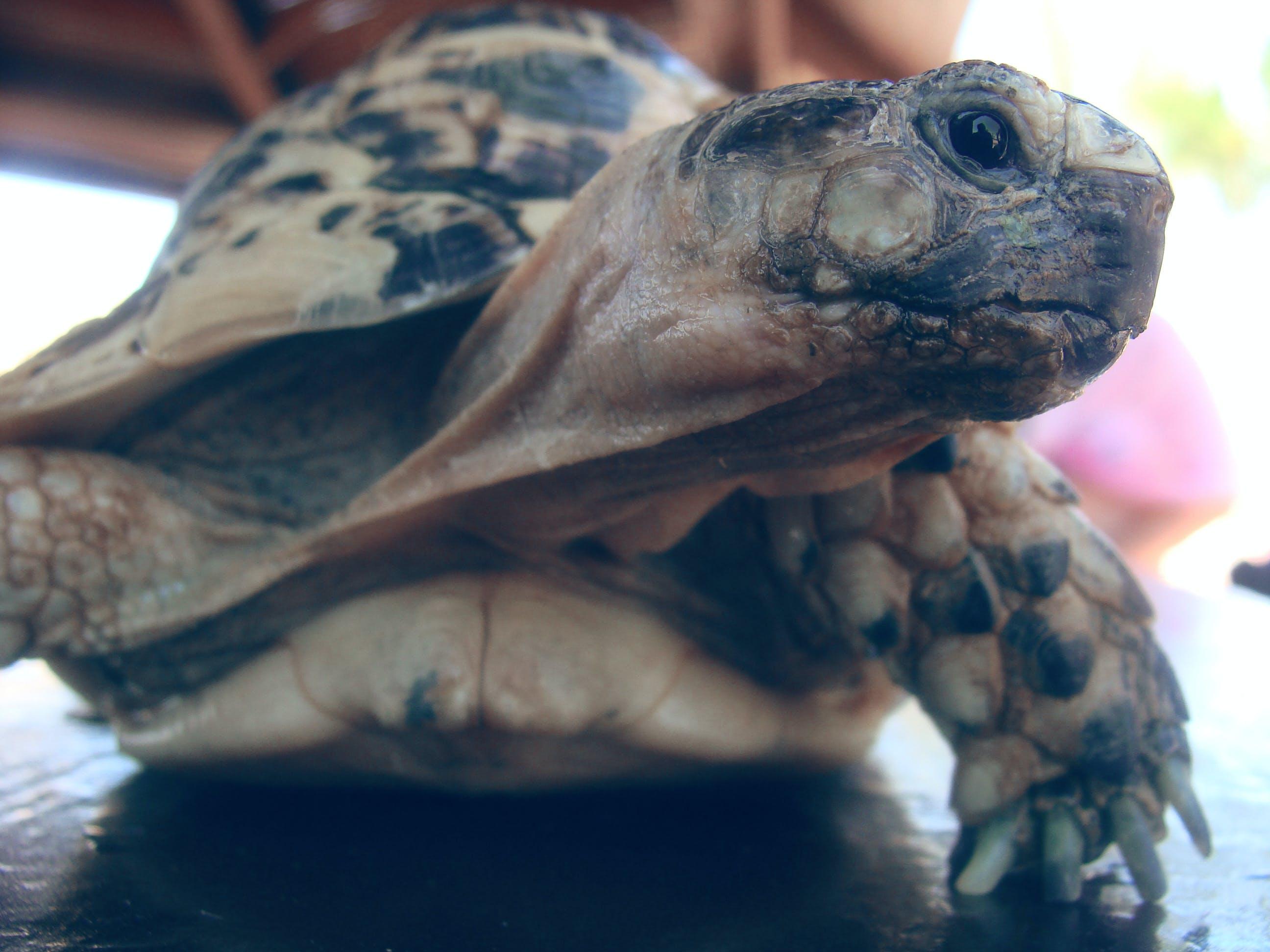 Kostenloses Stock Foto zu falten, nahaufnahme, natur, schildkröte