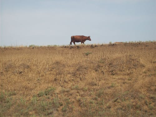 Brown Cow Standing on a Grass Field