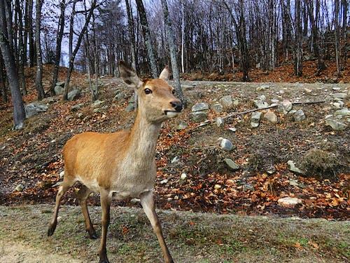 Free stock photo of deer, nature