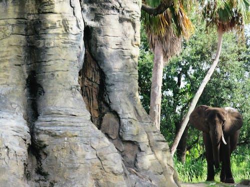Free stock photo of elephant, nature