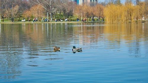 Free stock photo of city park, ducks