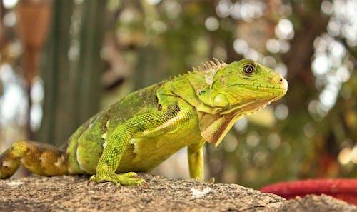 Darmowe zdjęcie z galerii z dzika przyroda, dziki, egzotyczny, iguana