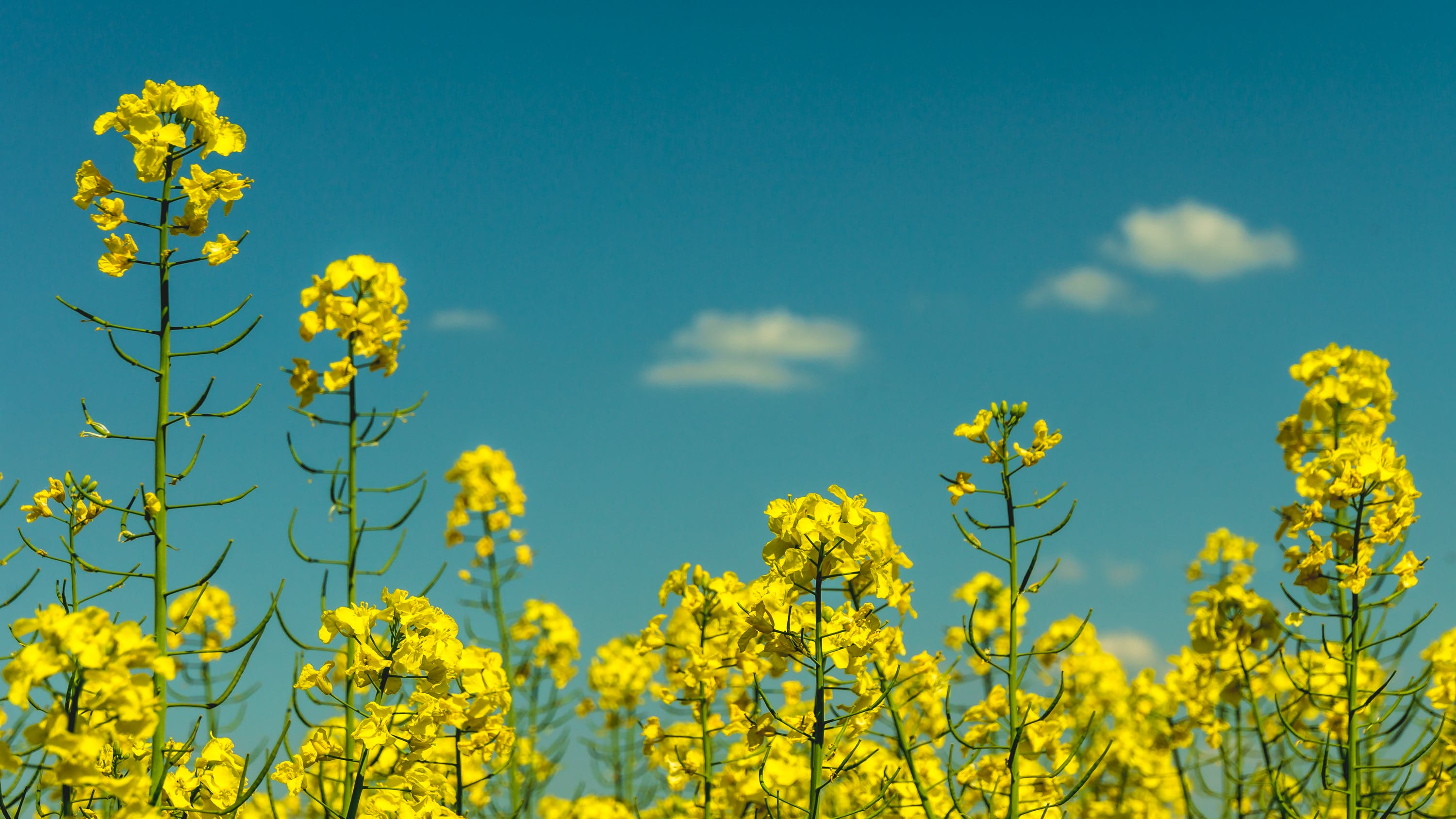 Yellow Flowers Under Partly Cloudy Skies during Daytime