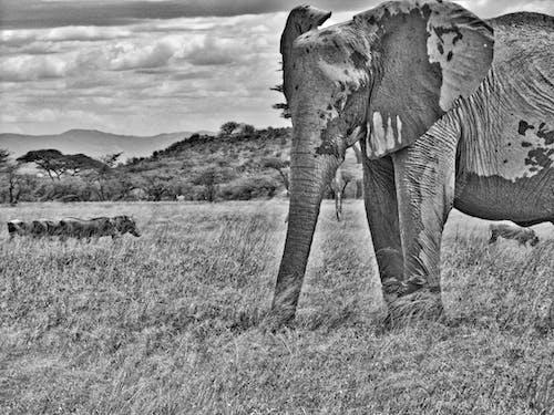 Fotos de stock gratuitas de elefante