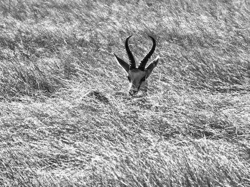 Fotos de stock gratuitas de asomándose, ciervo