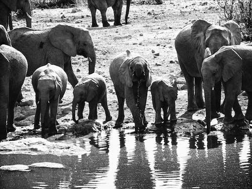 Fotos de stock gratuitas de elefante, familia