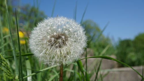 Focused Photo of Dandelion
