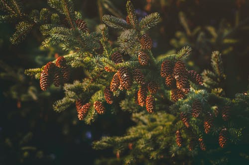 Close Up Photography of Pine Cones