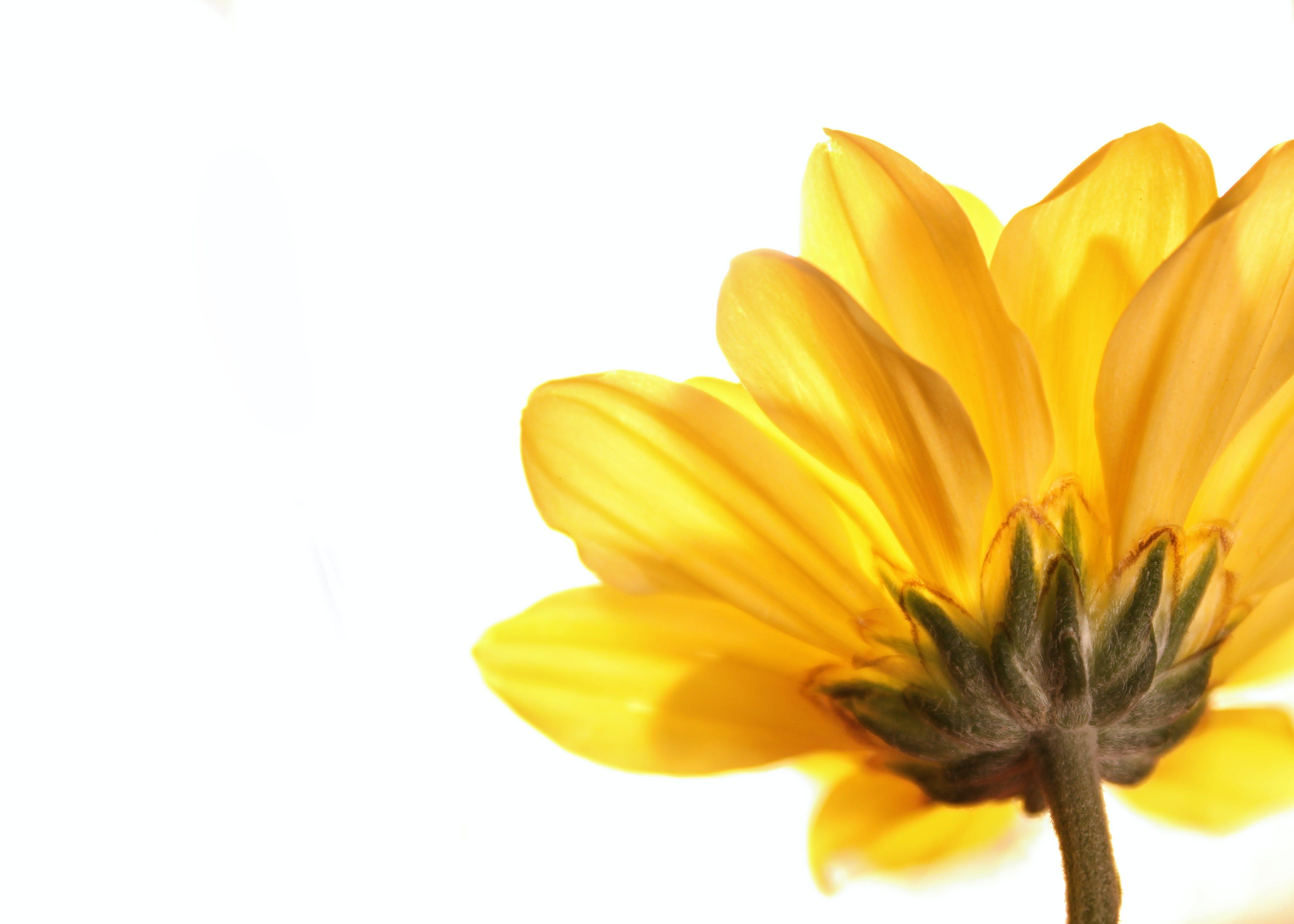 Free stock photo of flower, yellow flower