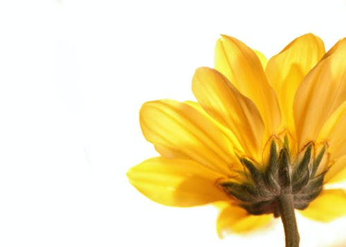 Free stock photo of flower, yellow flower