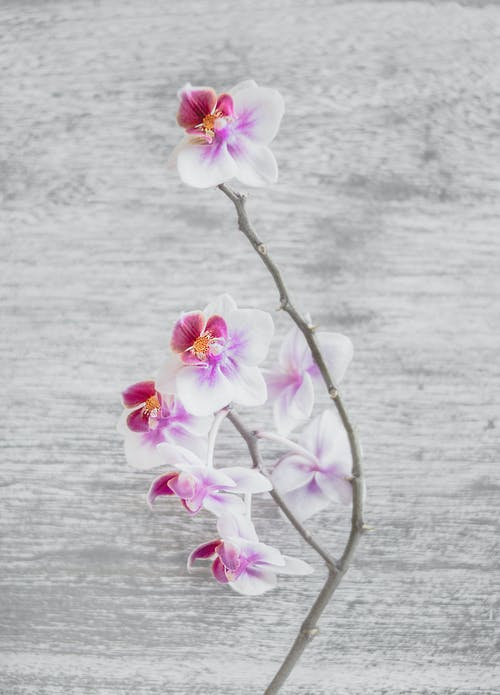 Close Up Photo of White and Pink Moth Orchid Flowers