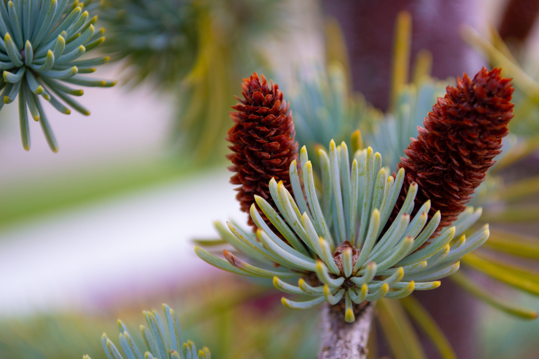 bush, pine cone, selective focus
