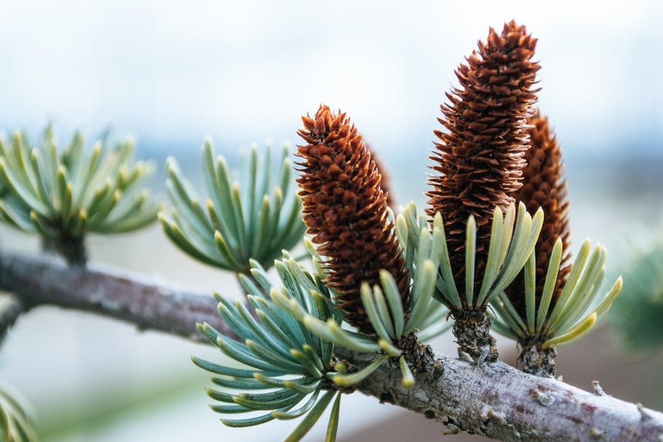 Close-up Photography of Conifer Cones