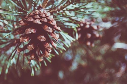Základová fotografie zdarma na téma barva, borová šiška, borovice, denní světlo