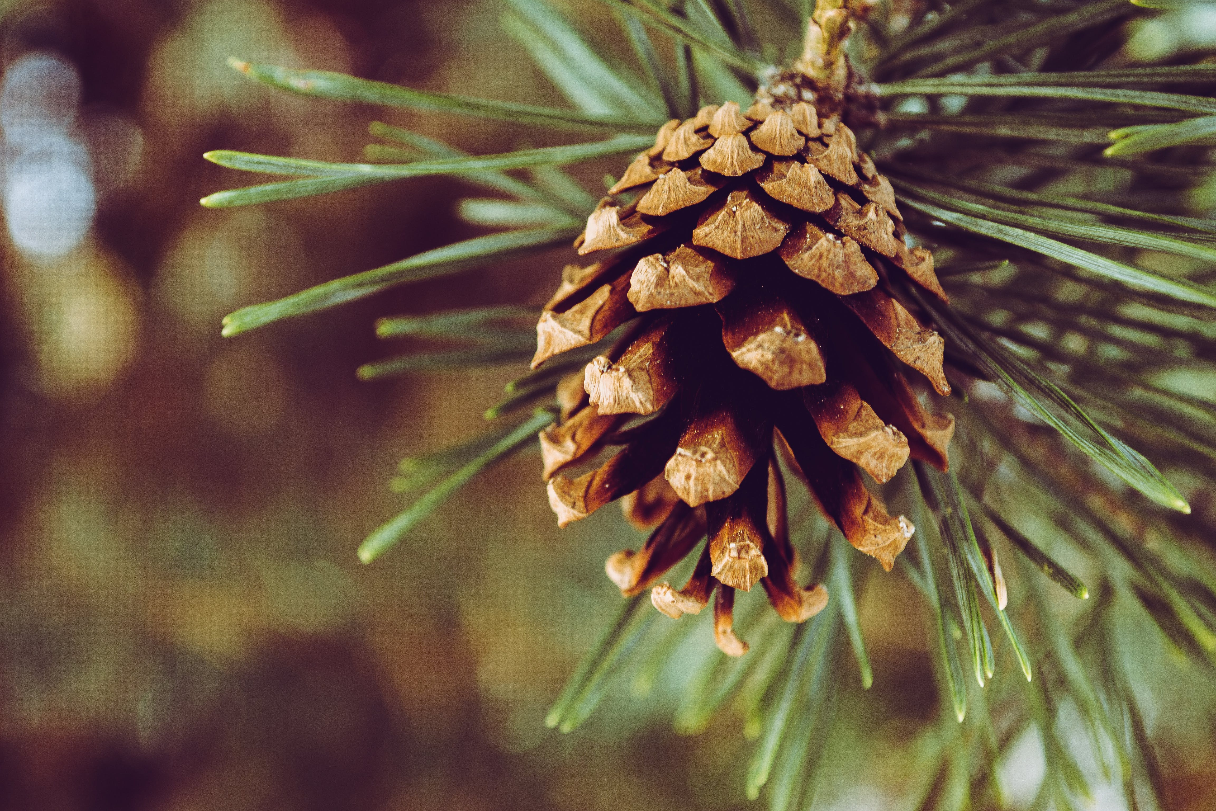 Closeup Photography of Brown Pine Cone