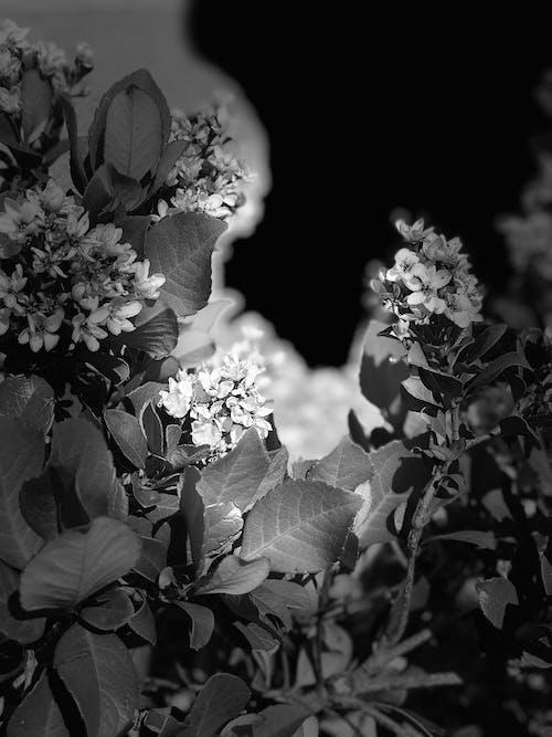 Free stock photo of black-and-white, dark, flowers