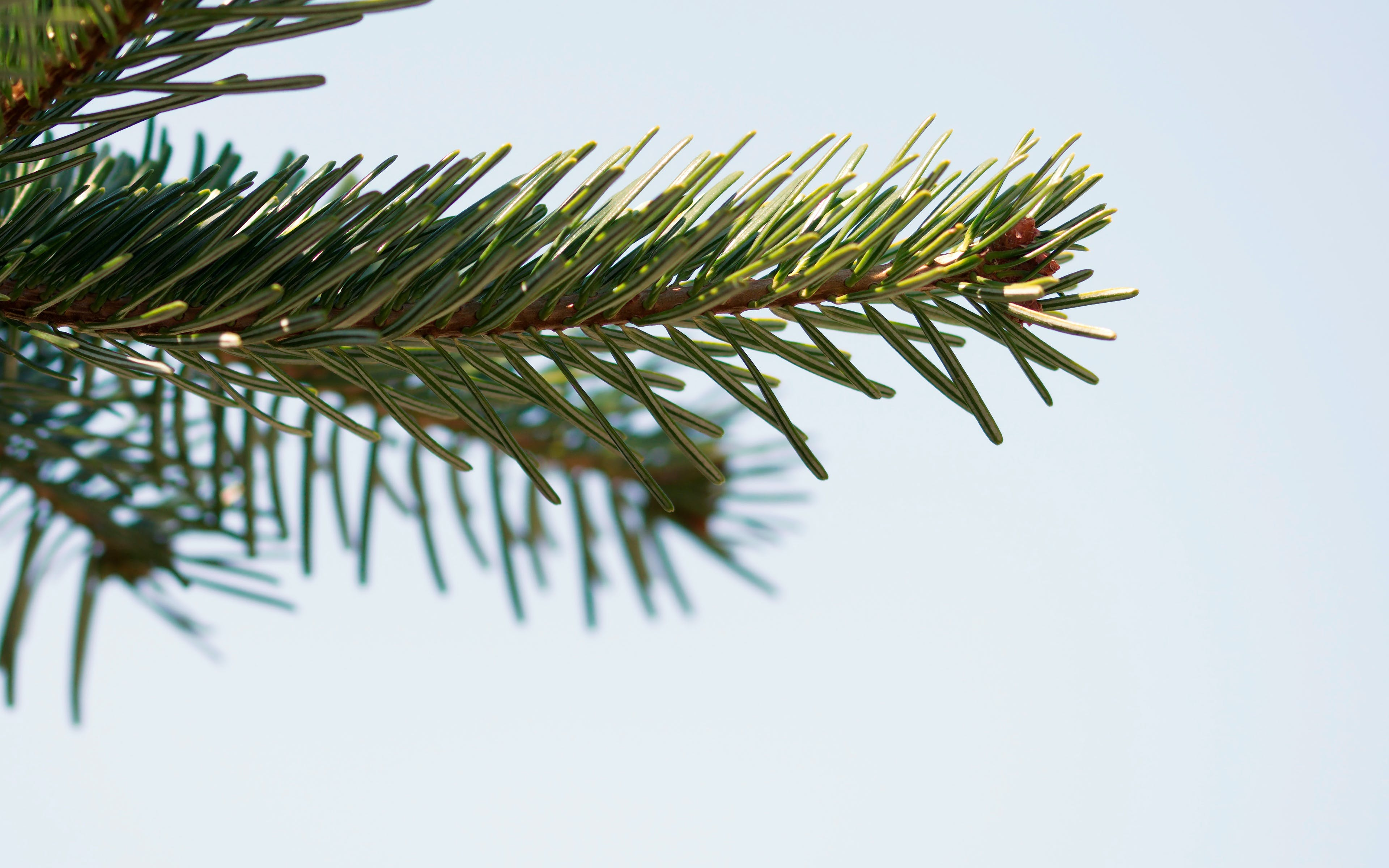 Selective Focus Photography of Pine Leaves