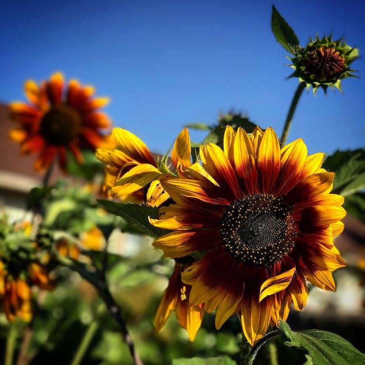 alan derinliği, ayçiçeği, Bahçe