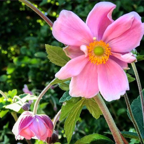 Gratis lagerfoto af blomst, blomster