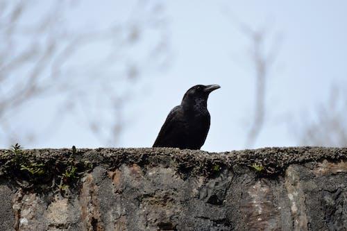 Darmowe zdjęcie z galerii z bec, corbeau, faune, noir